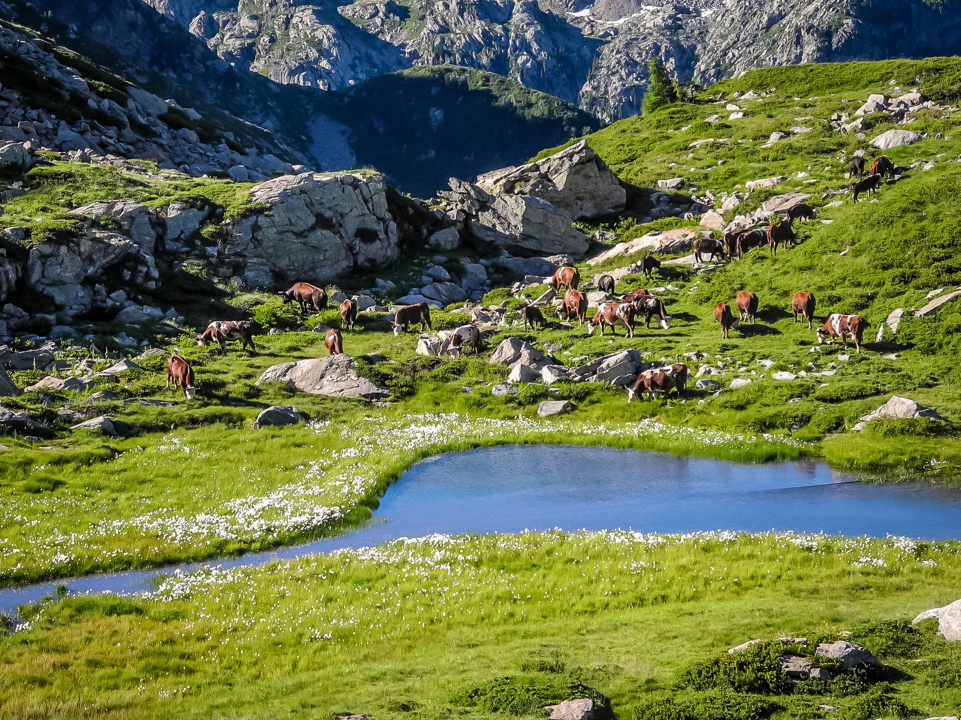 Mucche al pascolo all'altezza dello stagno prima di Pere Bionche