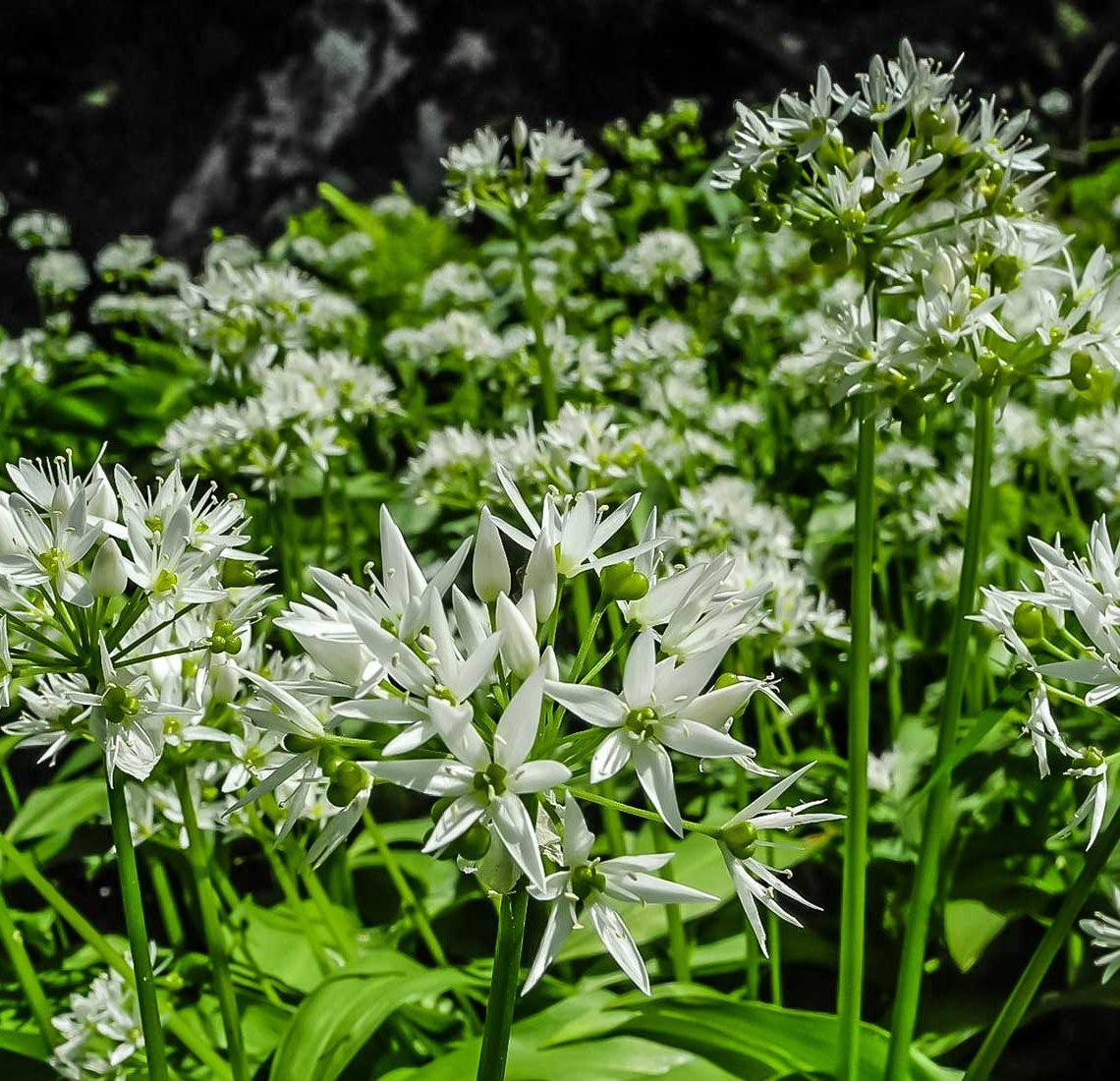Gli eleganti fiori bianchi dell'aglio orsino