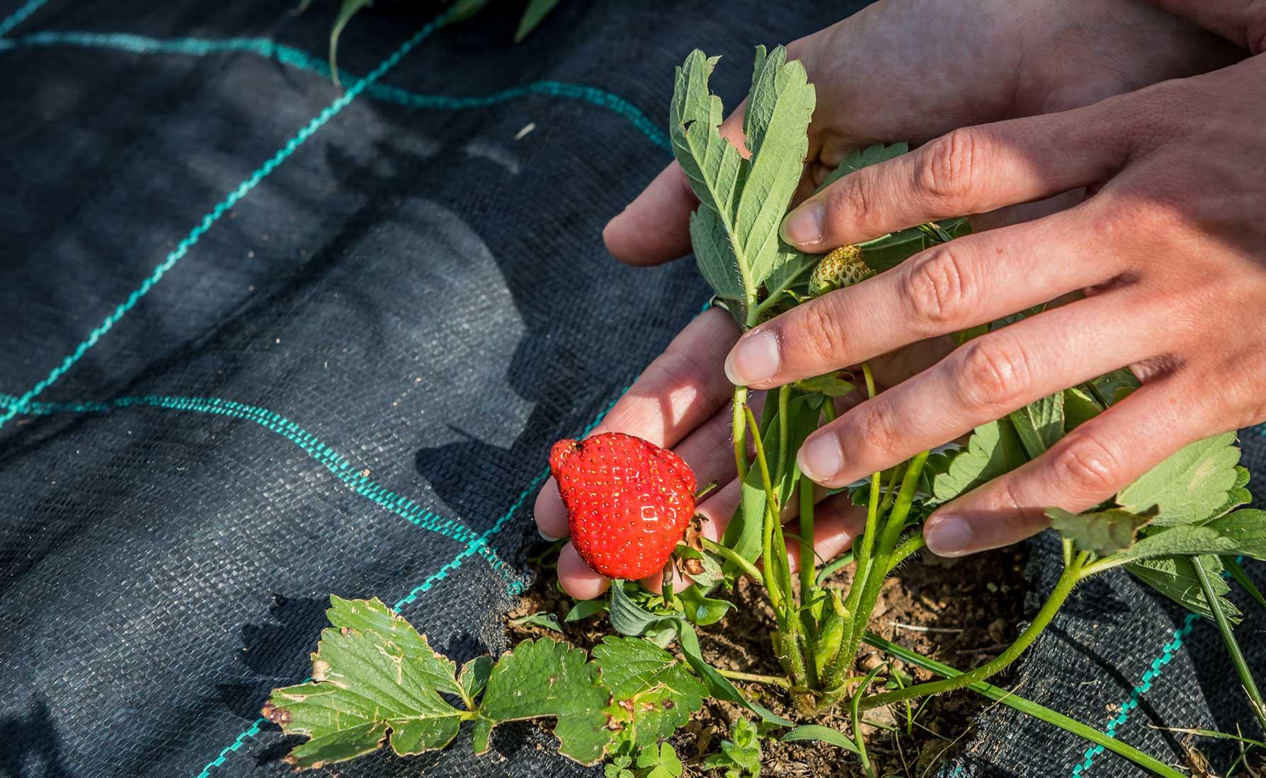 Spuntano le prime fragole! - Coltivazione La Coccinella in Frazione Deles a Fontainemore