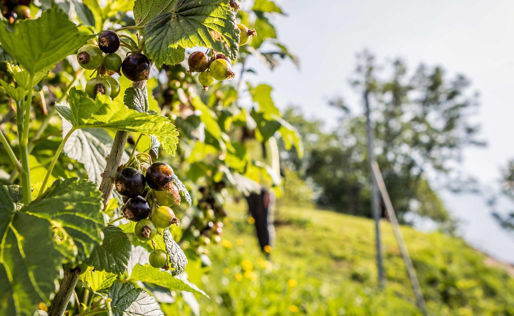 Ribes in maturazione alla coltivazione La Coccinella in Frazione Deles a Fontainemore