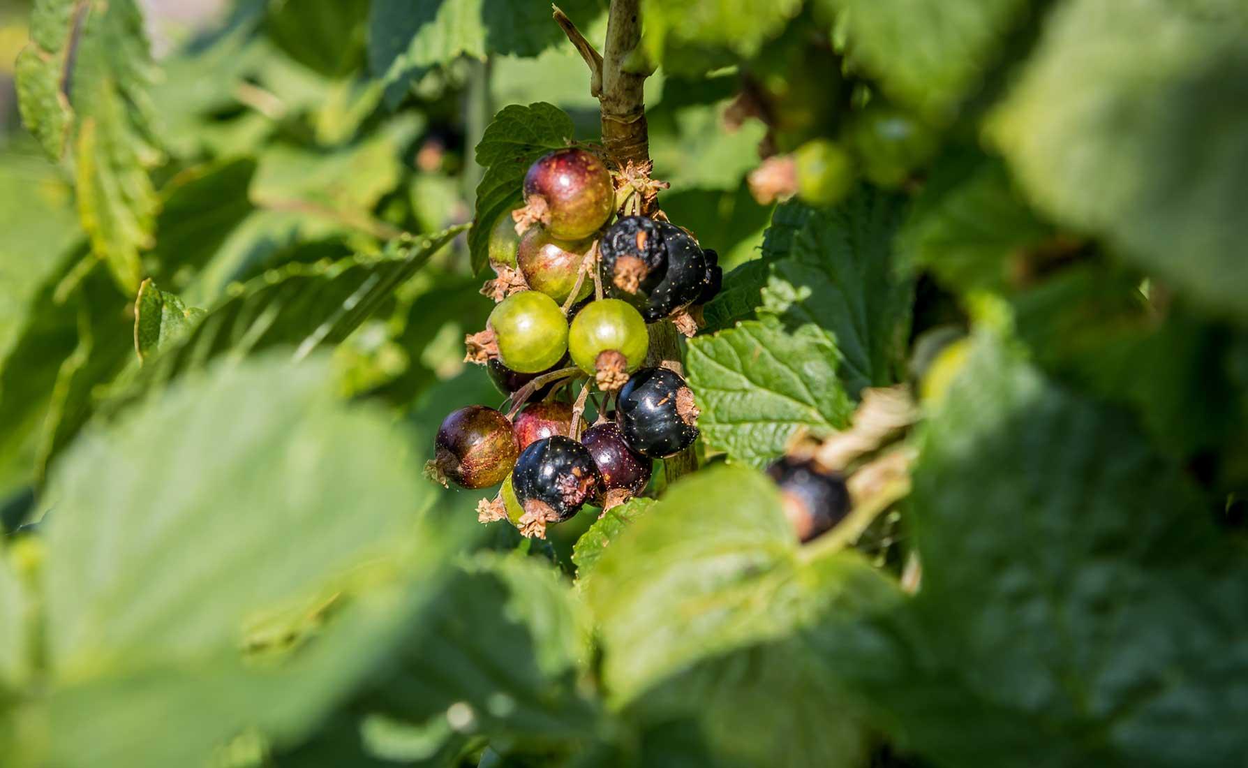 Ribes in maturazione alla coltivazione La Coccinella - Frazione Deles a Fontainemore