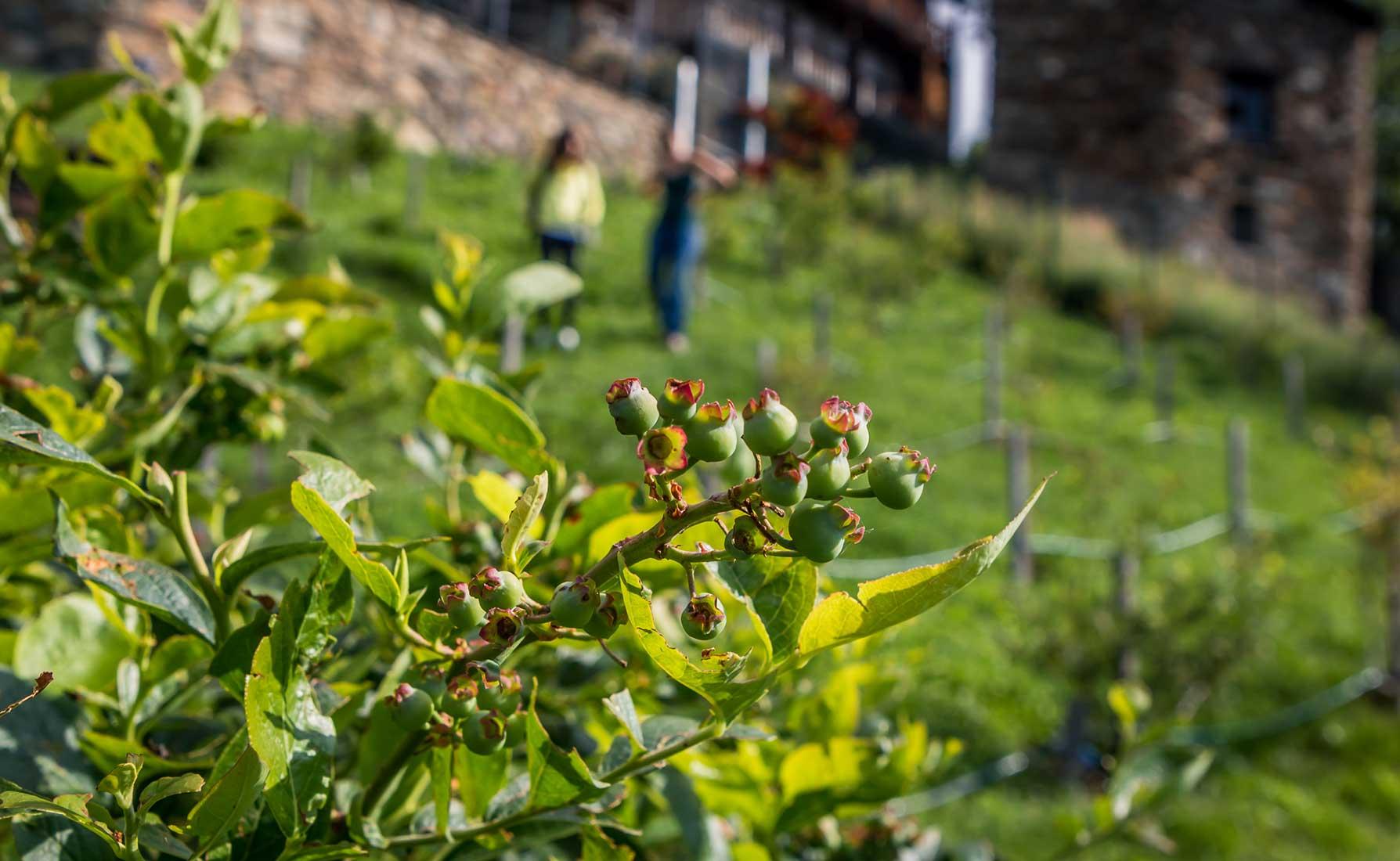 Mirtilli in maturazione alla coltivazione La Coccinella - Frazione Deles a Fontainemore
