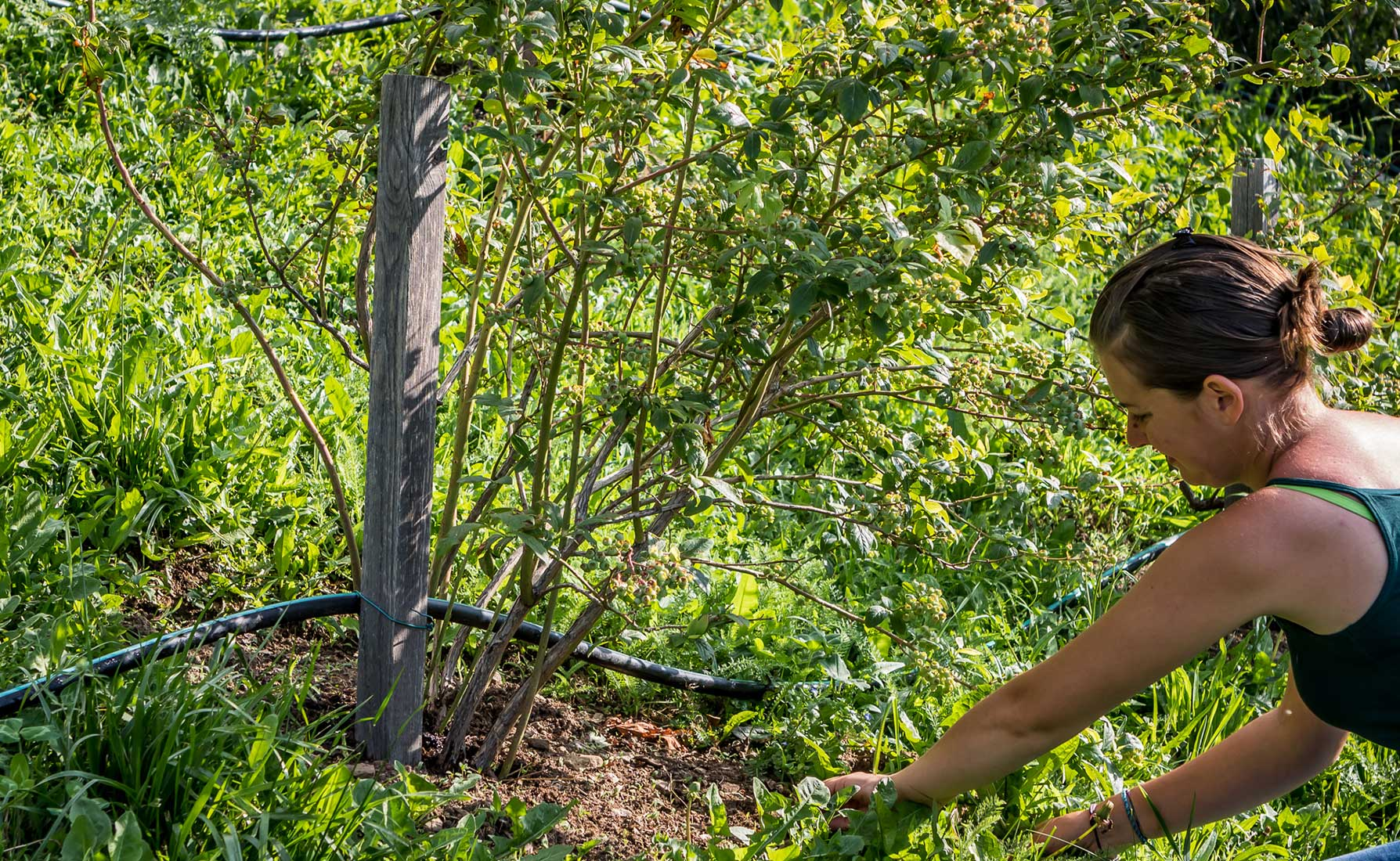 In Frazione Deles, Valentina e la sua famiglia coltivano i piccoli frutti lungo i terrazzamenti