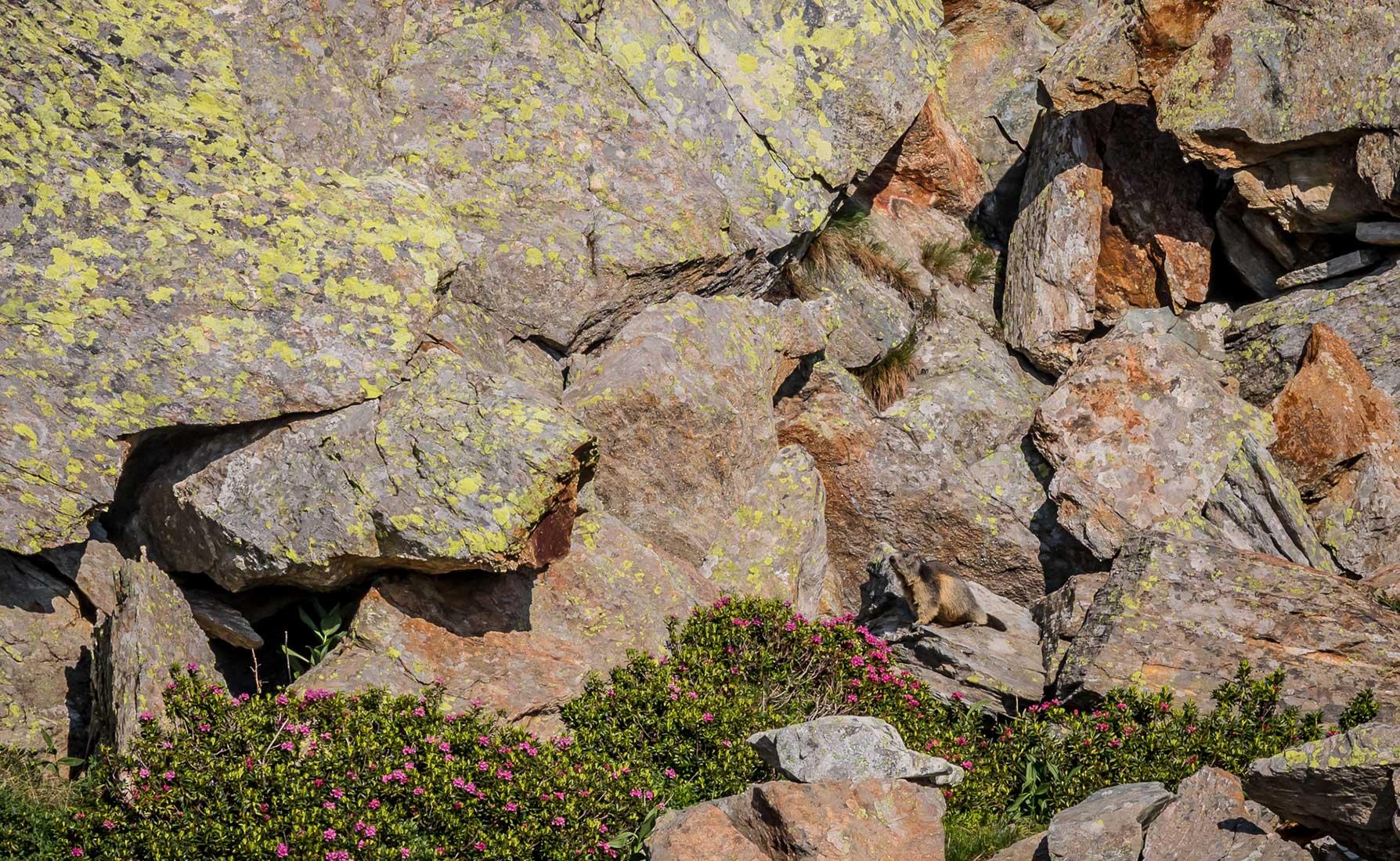 Una marmotta tra le pietraie che circondano il Lago della Barma
