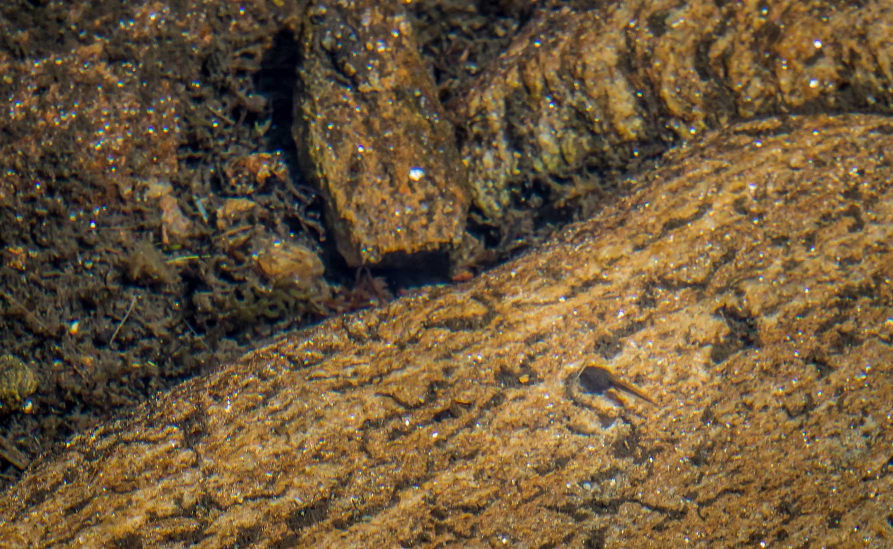 Un girino di rana temporaria nelle limpide acqua del Lago della Barma