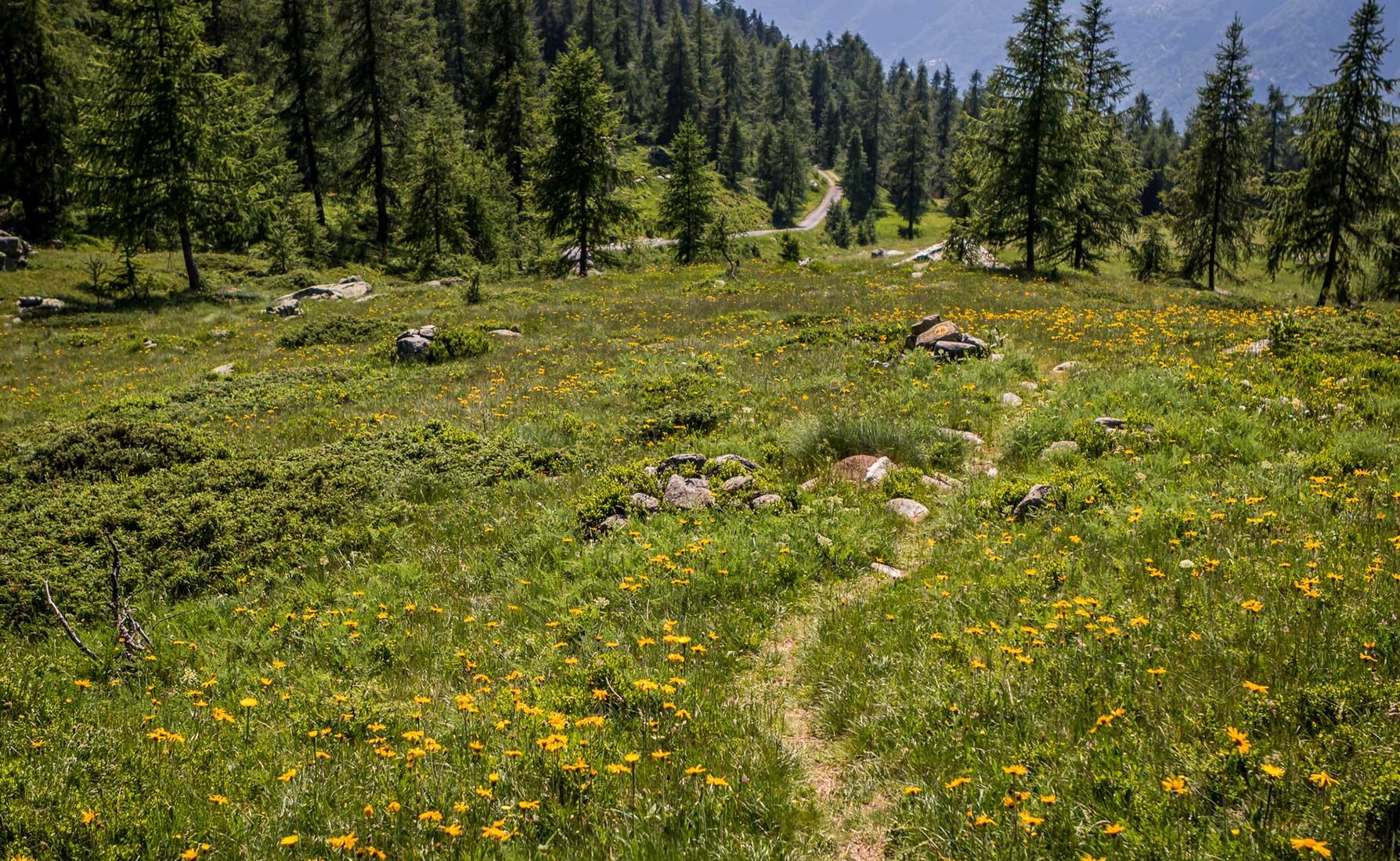 Prati ricoperti di Arnica montana lungo il sentiero 2D