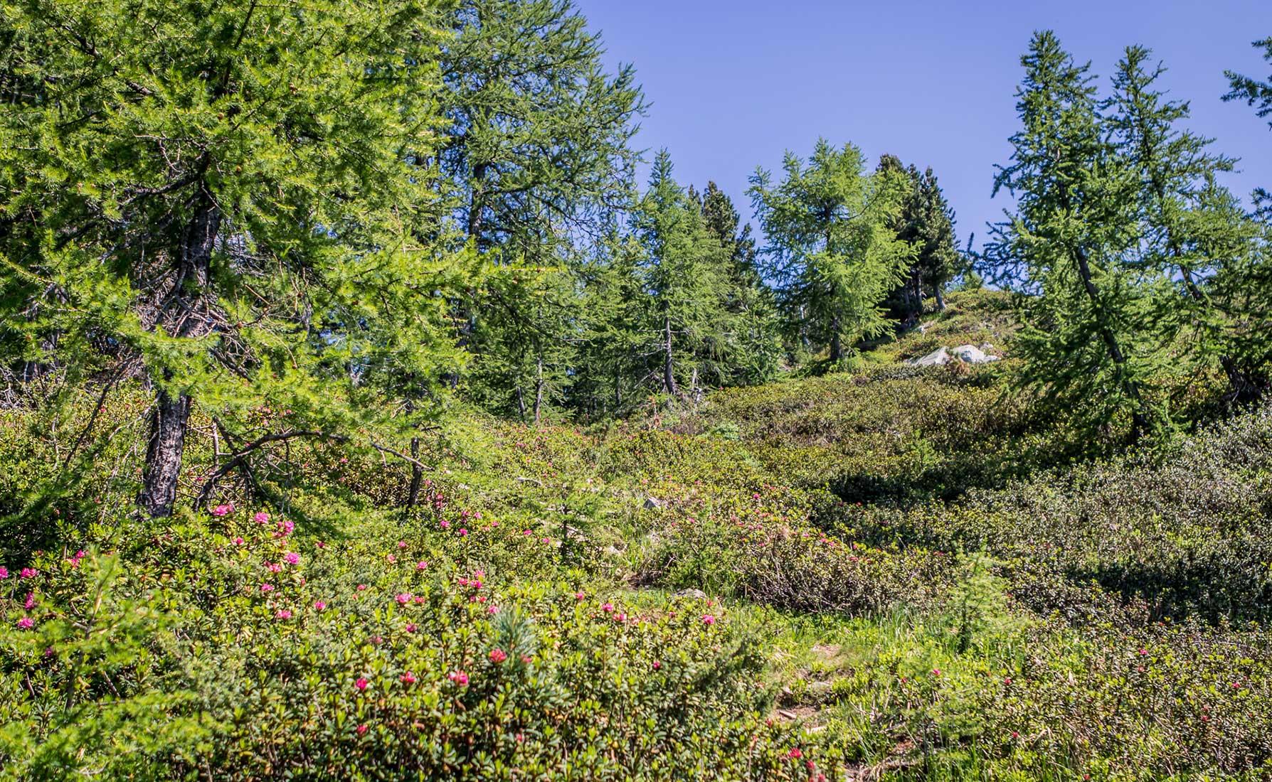Continua la salita lungo il 2D circondato dai rododendri in fiore