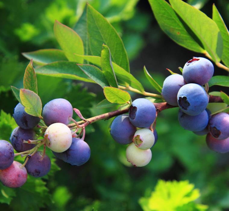 Sagra del Mirtillo e dei Piccoli Frutti Fontainemore